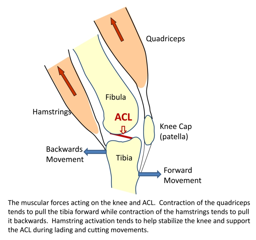 Quadriceps dominance