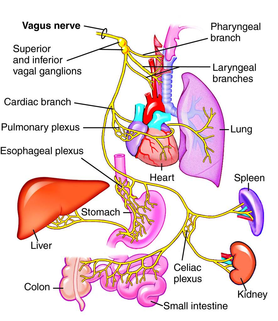 Vagus Nerve Diagram Diagram of The Vagus Nerve