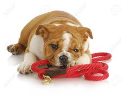 bulldog with leash.jpg