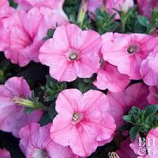 Macintosh HD:Users:sarinavetterli:Desktop:Plant and Granola Sale:Plant Images:Supertunia pink.jpg