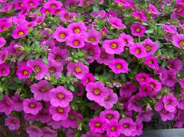 :Plant Images:Million Bells pink.jpg