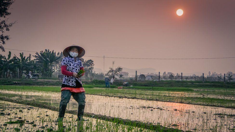 Во время пересадки саженцев риса, фермеры работают практически бех передышки