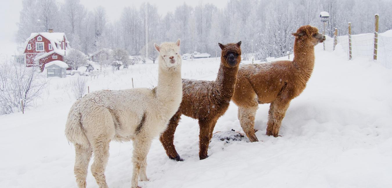 three alpacas in the snow
