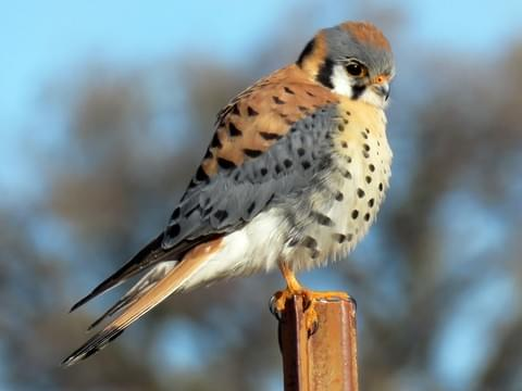American Kestrel Identification, All About Birds, Cornell Lab of ...