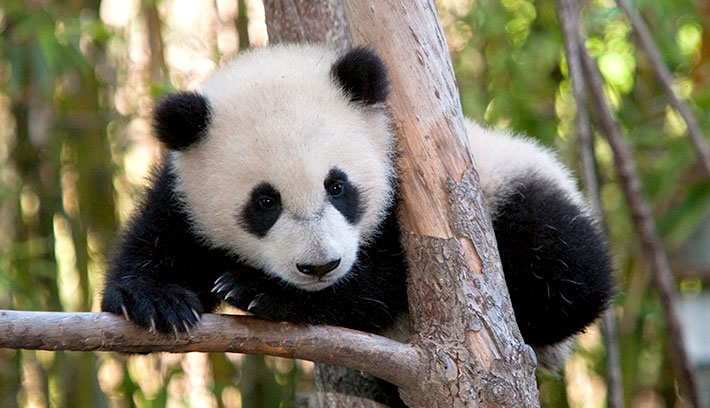 File:¡Panda en peligro de extinción!.jpg - Wikimedia Commons