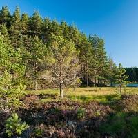 Cairngorm pine woodland