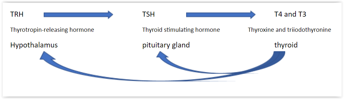 An image showing the relationship between TRH, TSH and T4 and T3