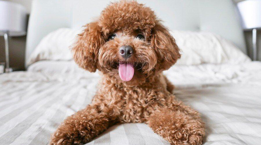 Poodle Breed Info: Temperament, Sizes (Standard, Miniature, Toy) & More