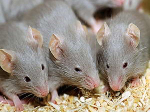 Giải mã thông điệp nằm mơ thấy con chuột muốn gửi đến cho bạn