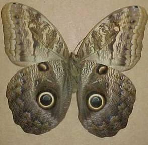 http://drkaae.com/InsectCivilization/assets/Chapter_15_Butterflies_and_Moths._files/image036.jpg