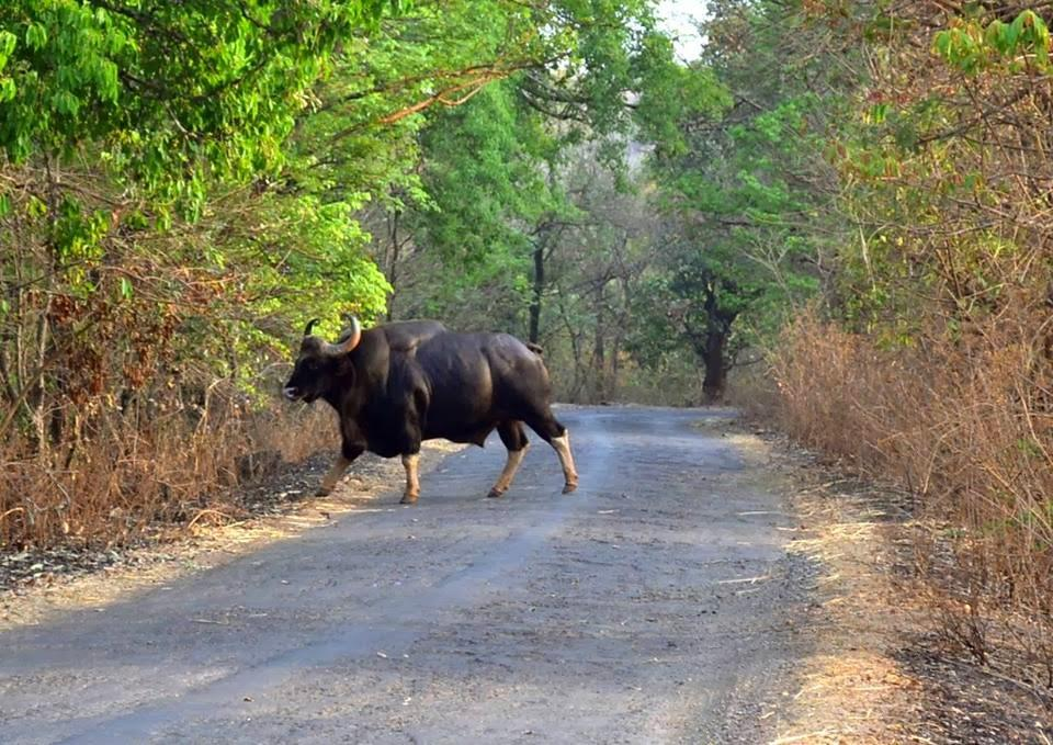 4) Admire the wildlife at Bison National Park in Dajipur.jpg