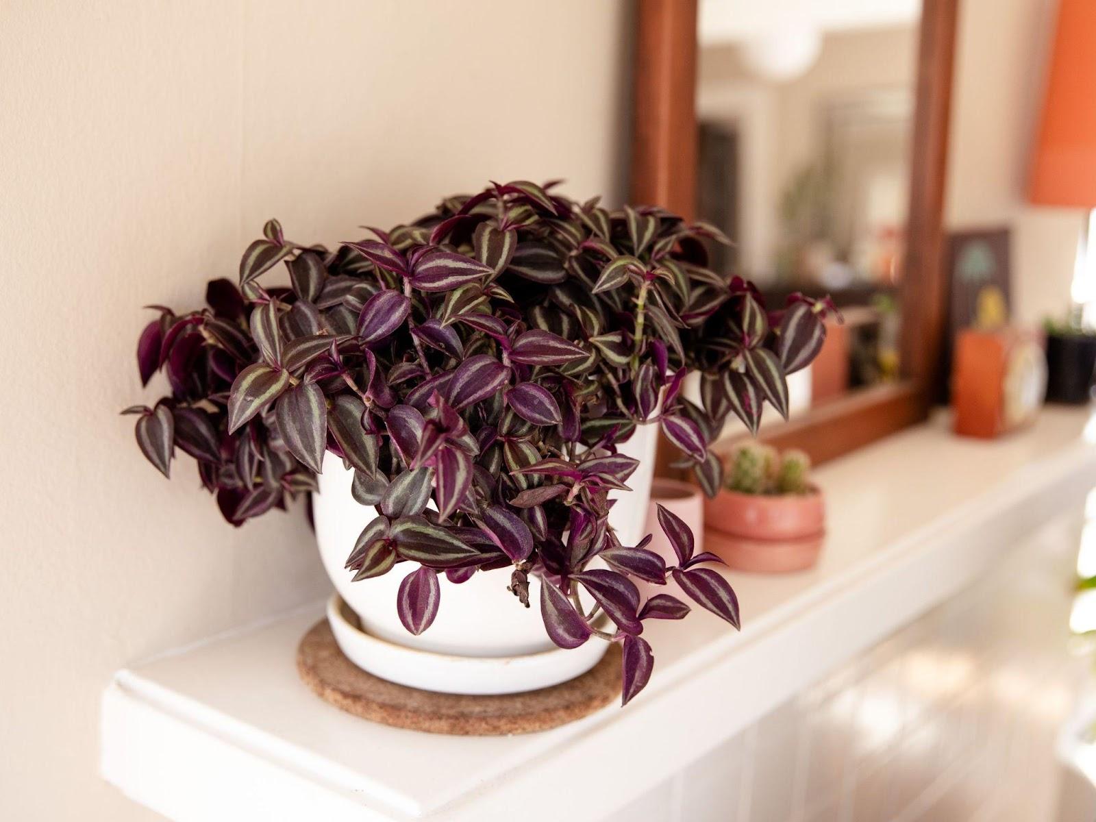 Methods In Propagating Wandering Jew Plants