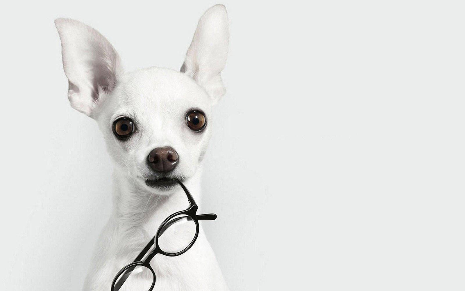 Chihuahua trắng