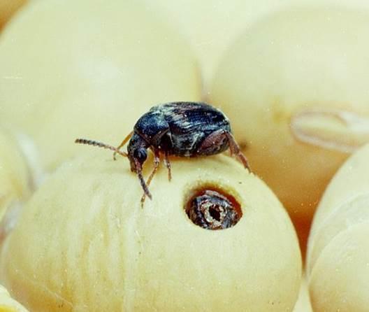 File:Acanthoscelides obtectus 1236032.jpg