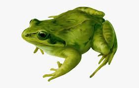 Transparent Amphibians Clipart - Amphibians Png , Free Transparent Clipart  - ClipartKey