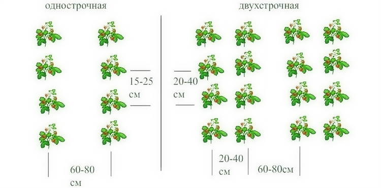 Схема посадки клубники