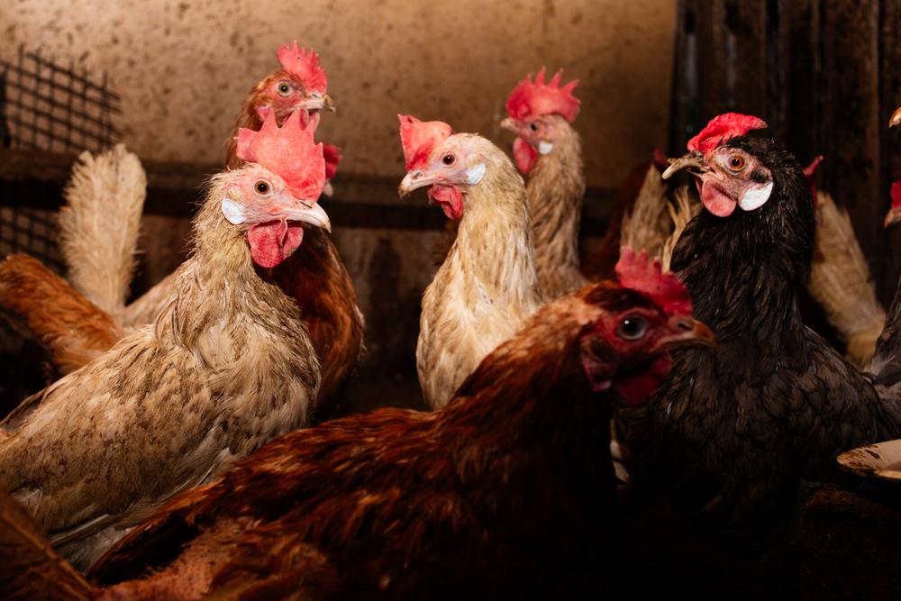 Atualmente, o frango é a principal vítima da gripe aviária. (Fonte: Shutterstock/Evgeniya Sheydt/Reprodução)