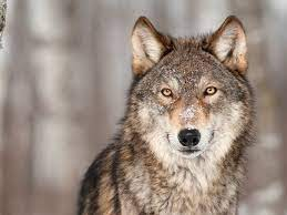200-Wolf Slaughter Shows Why Wolves Need Protection   Earthjustice