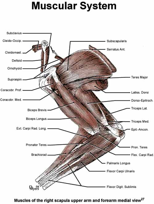 Muscles of the right scapula upper arm and forearm, medial view [27].