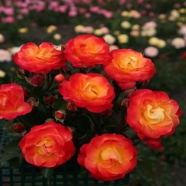 Firebird®, Beetrose - Weingärtner - Mein Gartencenter