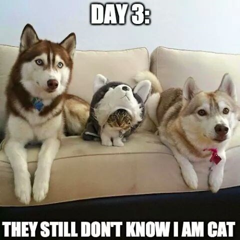 cat in disguise meme