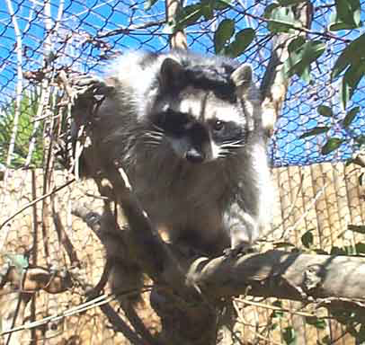 Procyon lotor, the Raccoon is extremely agile, readily climbing tall trees to avoid predators and with hind legs that will support its body weight can climb down trees headfirst.