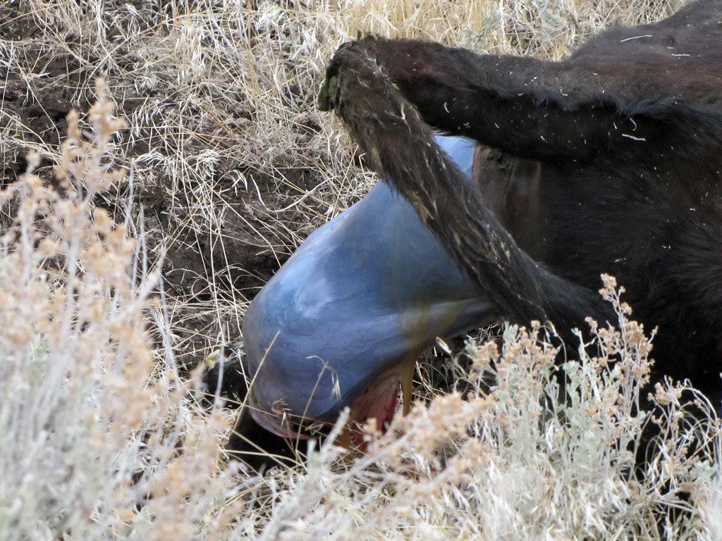 Birth of a Calf 4/7