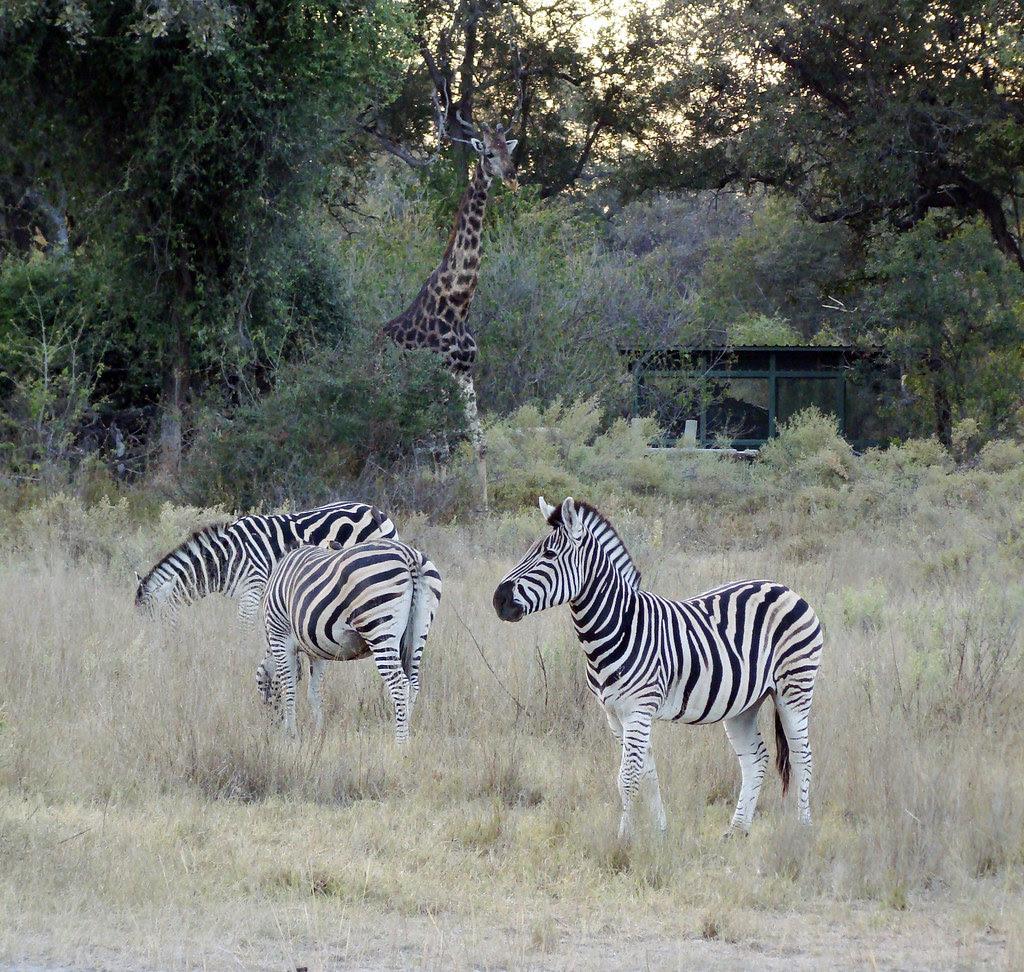 DSC09023 Burchell's Zebras and Southern Giraffe