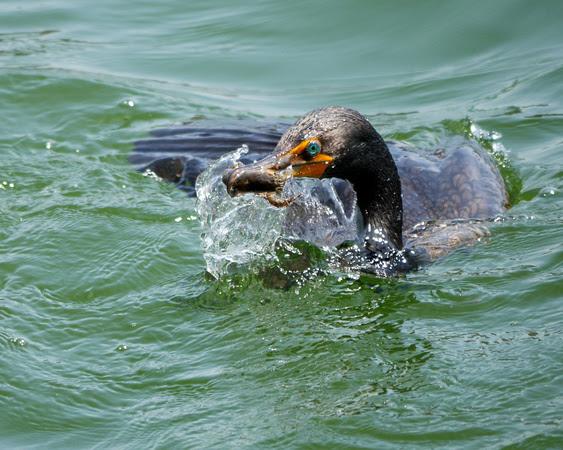 Ed Gaillard: birds &emdash; Double-Crested Cormorant, Central Park Reservoir