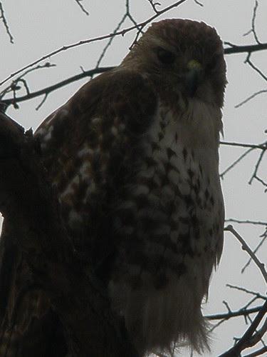 Hawk Looking Down