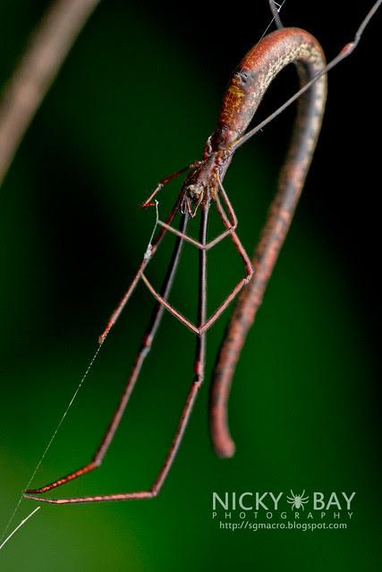 Twig Spider (Ariamnes sp.) - DSC_1931