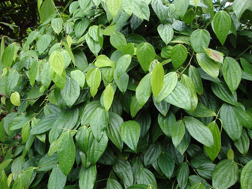 Black pepper vine (Piper nigrum)