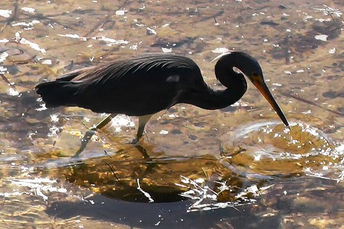 S1540010_Tricolored_Heron