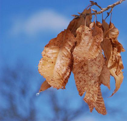 Feuilles sèches d'un chêne du Japon (Quercus acutissima) dans l'arboretum John J. Tyler, en Pennsylvanie.  (définition réelle 2100×2000)