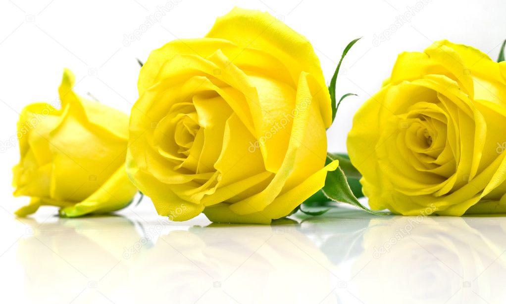 Resultado de imagem para imagem de rosas amarelas
