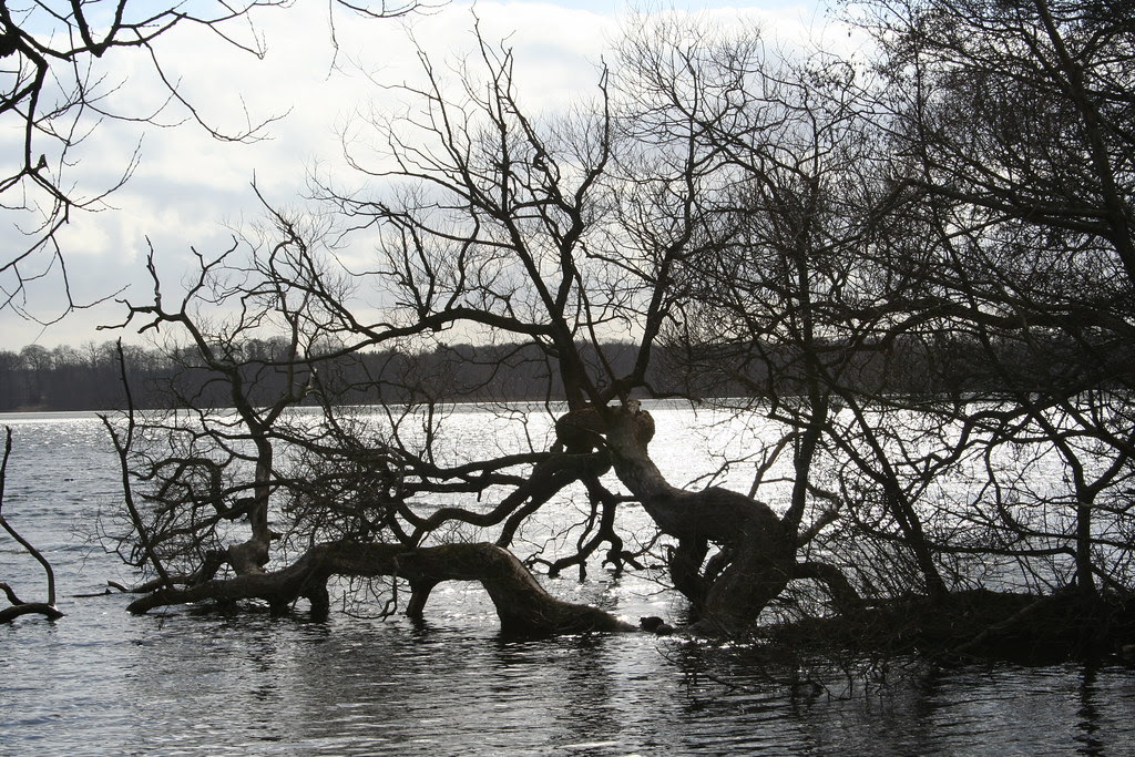 Træ i Sorø Sø