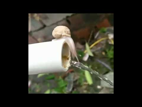 Snail drinking water from a pipe.