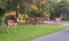 Deer on Fripp Island