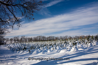 Rows of Christmas Trees, Summers Christmas Tree Farm
