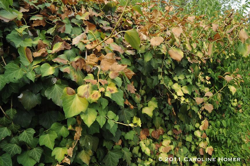 Drought-stricken English ivy