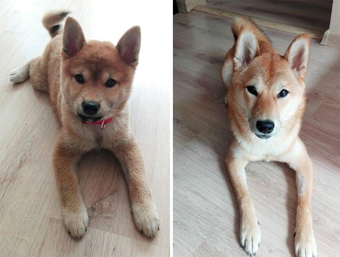 Saki The Shiba. Almost 6 Months Apart
