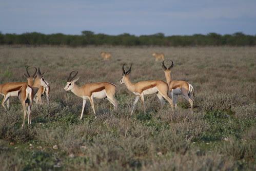 Springboks and Lions - Etosha