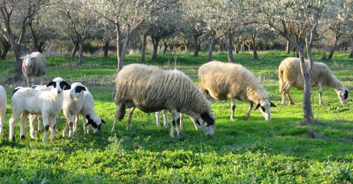 Λιγότερα τα ντόπια αρνιά το φετινό Πάσχα, σε καλύτερες τιμές ελπίζουν οι παραγωγοί