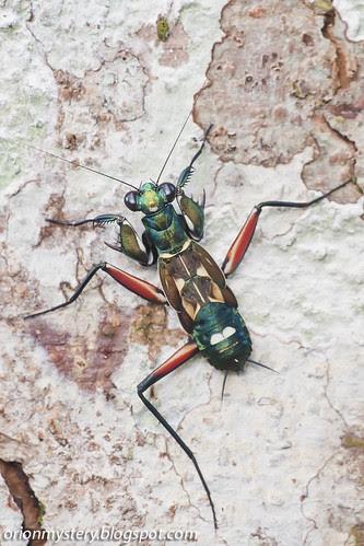 Metallyticus splendidus mantis IMG_5371 copy