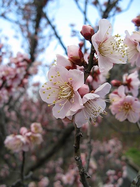 File:Prunus mume Koutoji1.jpg