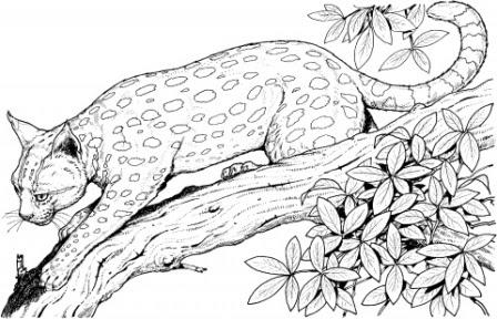 Dibujos De Leopardos Leopardopedia