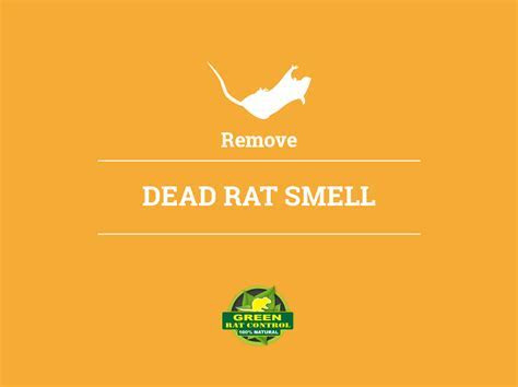 Remove Dead Rat Smell   Green Rat Control & Attic Cleaning Company