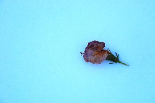 Spent Bloom on Snow
