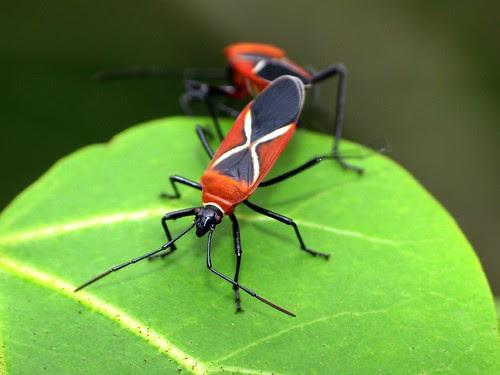 Dysdercus simon (cotton stainer bug)
