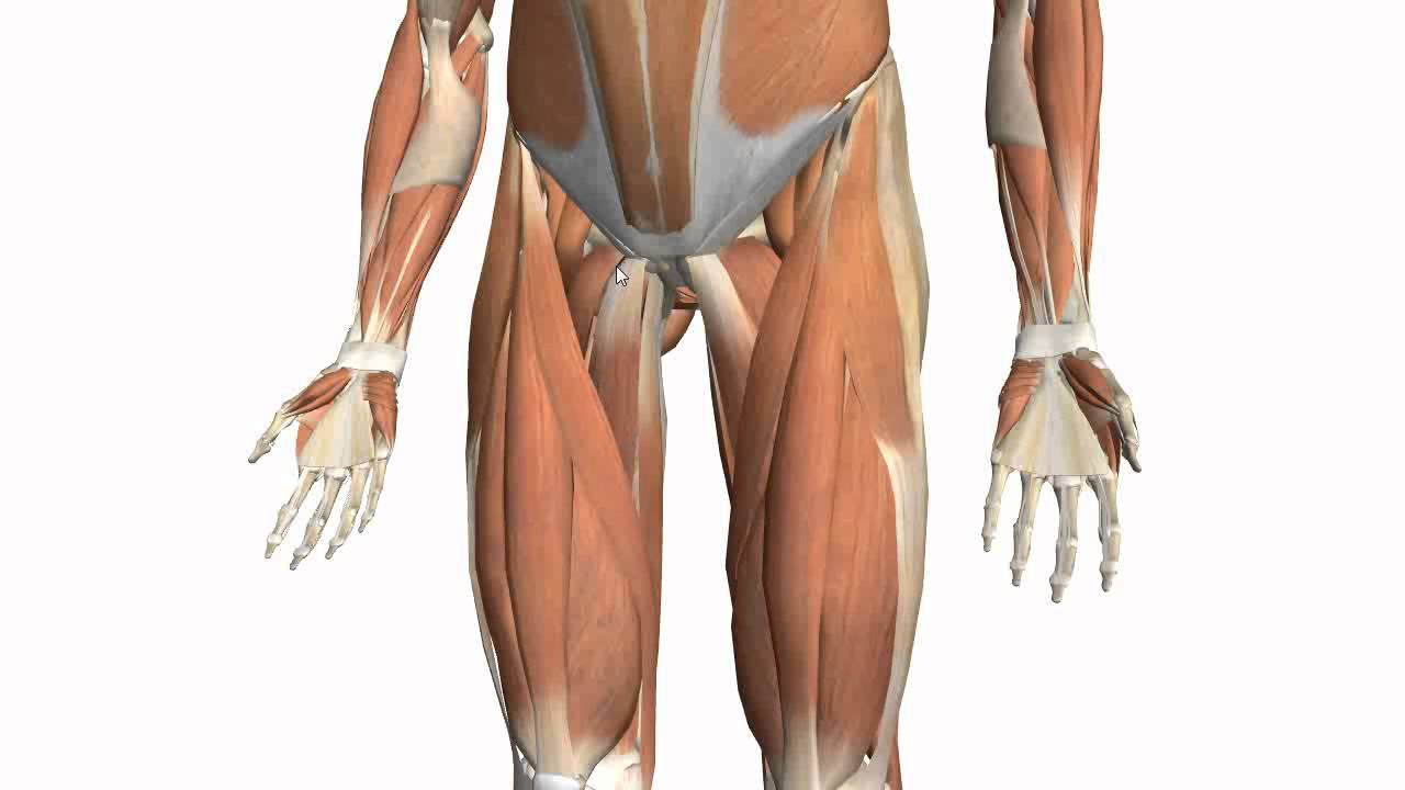 Muscles of the Thigh Part 2 - Medial Compartment - Anatomy ...